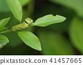 larva cabbageworm swallowtail 41457665