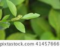 larva cabbageworm swallowtail 41457666