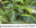 larva cabbageworm swallowtail 41457667