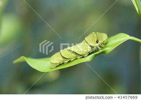 燕尾幼蟲 41457669