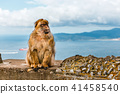 portrait of a wild male macaque 41458540