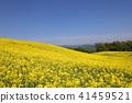 유채 꽃밭 41459521