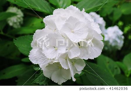Hydrangea pure white white flowers stock photo 41462036 pixta hydrangea pure white white flowers 41462036 mightylinksfo