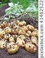 감자 (키타아카리) 수확 41462522