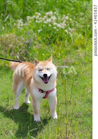 狗 狗狗 柴犬 41465837