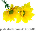 Close up Chrysanthemum flower. 41466601