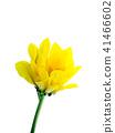 Close up Chrysanthemum flower. 41466602
