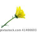 Close up Chrysanthemum flower. 41466603