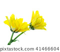 Close up Chrysanthemum flower. 41466604