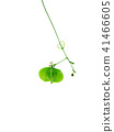 Close up of Balloon vine plant on white background 41466605