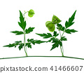 Close up of Balloon vine plant on white background 41466607