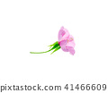 Close up of Pink Dombeya flower 41466609