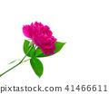 Dark pink of Damask Rose flower. 41466611