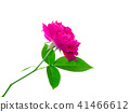 Dark pink of Damask Rose flower. 41466612