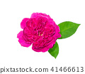 Dark pink of Damask Rose flower. 41466613