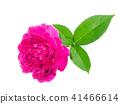 Dark pink of Damask Rose flower. 41466614