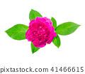 Dark pink of Damask Rose flower. 41466615