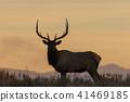 elk, bull, sunrise 41469185