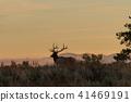 elk, bull, sunrise 41469191