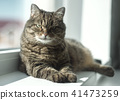 serious cat relaxed on the window 41473259