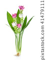 Siam tulip or Curcuma flower  on white background 41479111
