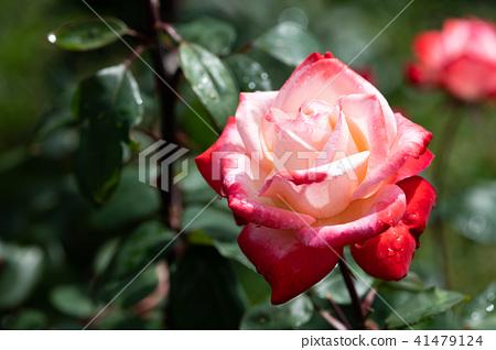 """紅色和白色的玫瑰花""""丹頂"""" 41479124"""