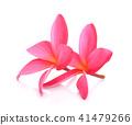 Frangipani flower  on white background. 41479266