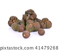 tea seed on white background 41479268
