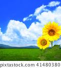 배경 - 여름 - 푸른 하늘 - 해바라기 41480380