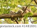 Ezo Owl的孩子 41481691