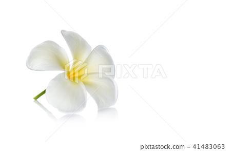 Tropical flowers frangipani  on white background 41483063
