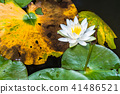 water lily, bloom, blossom 41486521