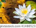 lotu, water lily, bloom 41486523
