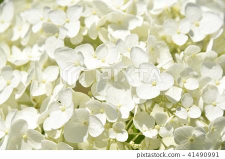 수국, 자양화, 꽃 41490991