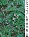타카노 빗자루 코우야보우키 꽃 후 41501504