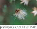 pertya scandens, cotton, fluff 41501505