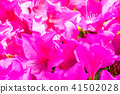 Azalea in full bloom 41502028