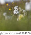 Summer meadow with cotton grass and buttercups 41504200