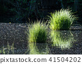Pond with reflecting grass tufts 41504202