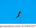 Barn Swallow on a weather vane 41504207