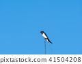 Barn Swallow closeup 41504208
