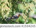 Little Red Robin on a twig 41504245