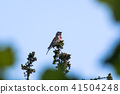 Singing Common Linnet on a branch top 41504248