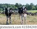 Curious black and white cattle 41504249