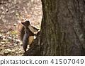 아사히가 해당 나무의 뿌리에서 위를 보는 다람쥐 41507049