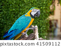 Parrot, lovely bird, animal and pet in the garden 41509112