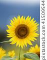 ทานตะวันดอกทานตะวันทานตะวันฤดูร้อนคัดลอกพื้นที่ธรรมชาติสีเหลืองสดใส 41509544