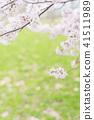 cherry blossom, cherry tree, yoshino cherry 41511989