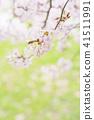 cherry blossom, cherry tree, yoshino cherry 41511991