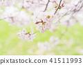 cherry blossom, cherry tree, yoshino cherry 41511993